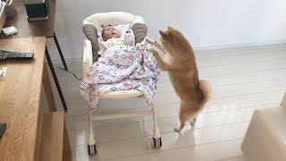 柴犬のだいふくさん、泣き出した赤ちゃんのおててをなめて慰めるよ