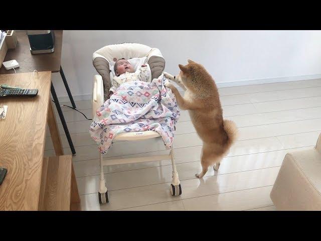 柴犬だいふくの赤ちゃんあやせるかな [ Shiba inu Daifuku tries to take care of baby.]