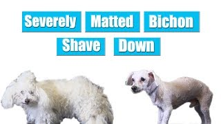 Severly Matted Bichon Shave Down