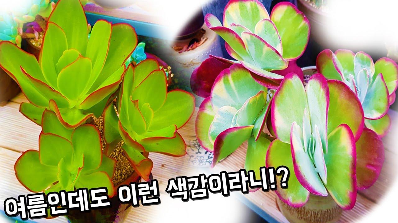 다육식물 아름다운 색감 끝판왕
