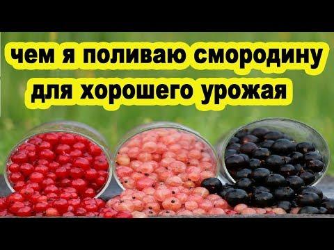 Чем я поливаю чёрную и красную смородину для хорошего урожая народный рецепт подкормки крахмал