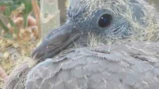 Hope:  The Story Of A Wood Pigeon Born In A Window Box In Paris
