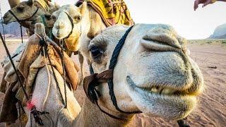 CAMELS OF ARABIA!
