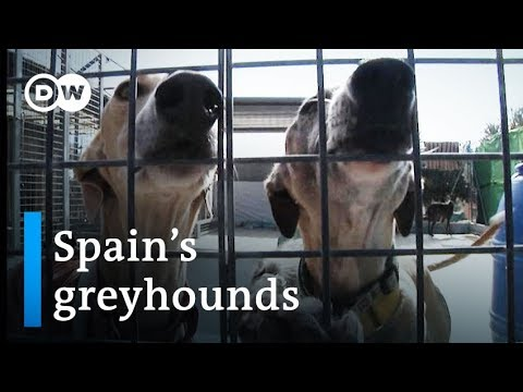Galgos: Are Spain's Greyhounds Mistreated? | DW Stories