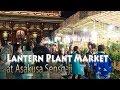 TOKYO.| 浅草 | Lantern Plant Market at Asakusa Senso-ji |  ほおずき市 July 9, …
