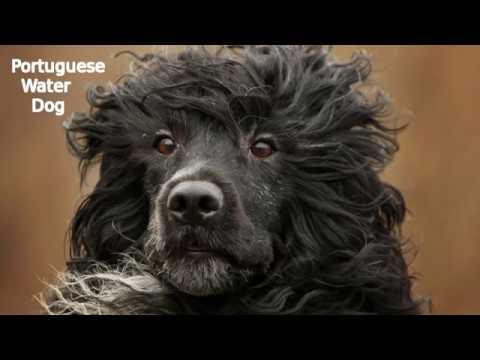 Portuguese Water Dog - medium sized dog breed
