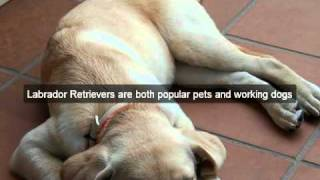 Labrador Retriever Video