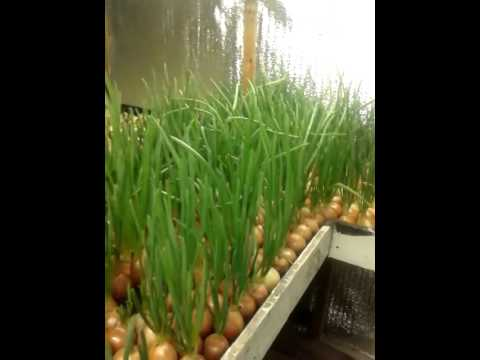 видео: Теплица своими руками под выращивание зеленого лука...