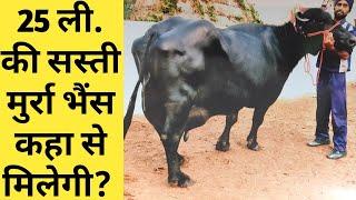 सस्ती मुर्रा भैंसे कहा से मिलेगी या कैसे तैयार होगी?|buffalo farming in india in hindi|Murrah Dairy