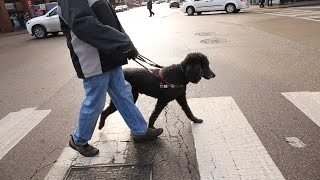 So Chicago: Guide dogs earn their keep – and a measure of love
