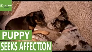 Puppy Seeks Affection From Sleeping Doberman