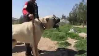 Turkish Kangal Dog protects African sheeps - Anatolian Guard Dog | ...