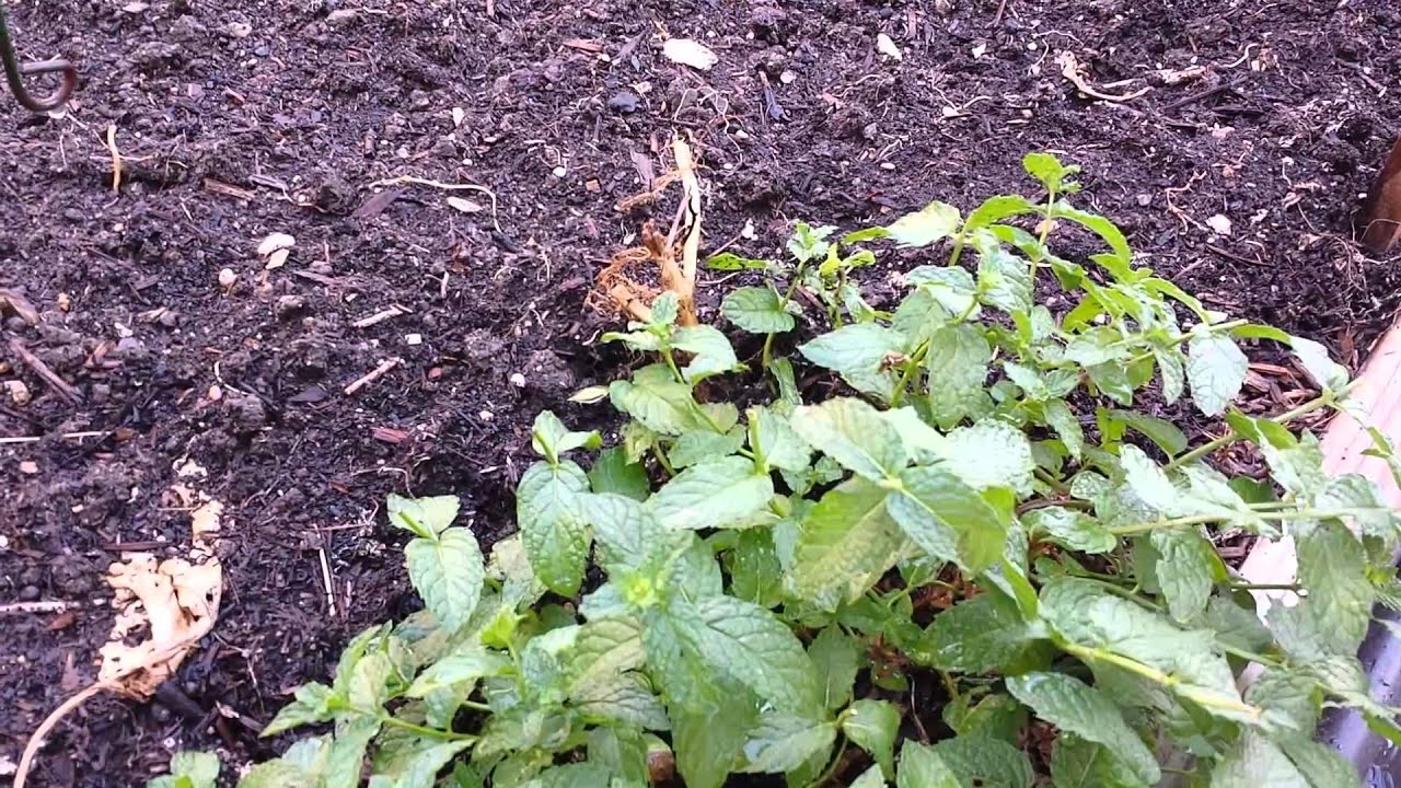 Mintinvasive Or Excellent Ground Cover