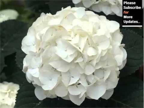 White Hydrangea Beautiful Pictures Of White Folwers