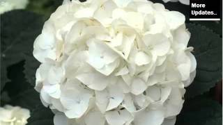White Hydrangea | Beautiful Pictures Of White Folwers - Phula Pics
