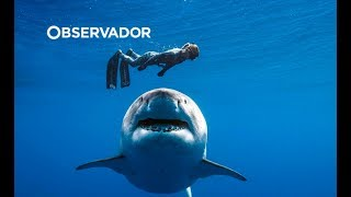 """Maior tubarão branco já filmado aparece de novo. É uma """"ela"""" e pode estar grávida"""