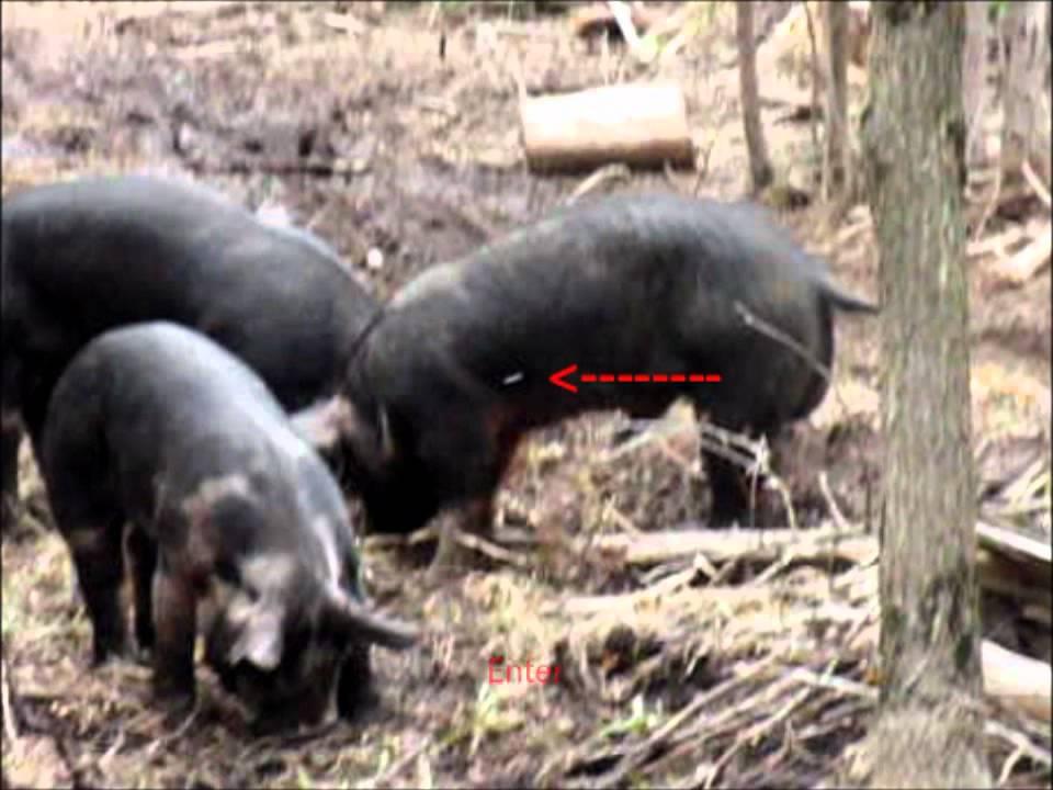 airgun pig hunting 02 ranger 45 youtube