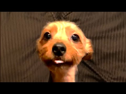Cute and Funny Yorkies! Yorkshire Terrier Videos 🐶