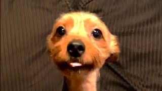 Cute and Funny Yorkies! Yorkshire Terrier Videos