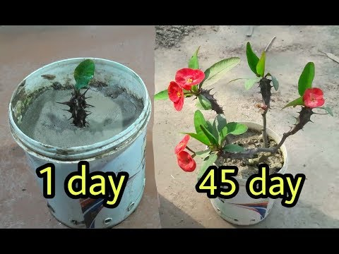 how to grow crown of thorns from cuttings| euphorbia milii growing method from cutting