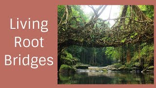 Human and nature best creation Living root bridges in Mawlynnong, Meghalaya | Uncommon India