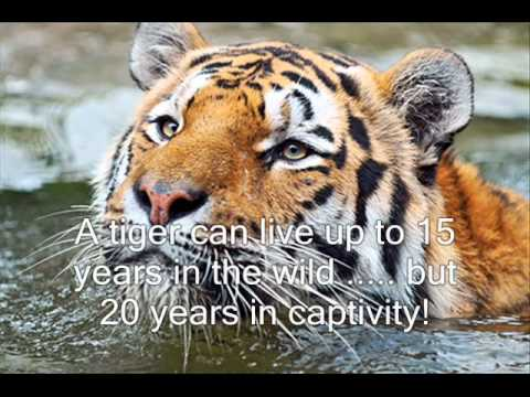 The Life Cycle Of A Tiger.wmv - YouTube