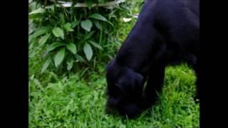 Собака ризеншнауцер ест траву
