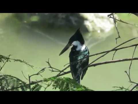 Four Kingfisher Day Amazon Kingfisher Ringed Kingfisher Green Kingfisher and Belted Kingfisher
