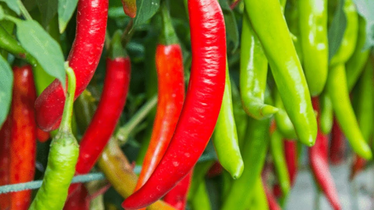 Green and Red Chilli Fields, Green Chilli production in Pakistan - YouTube