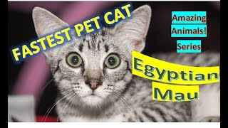 Egyptian Mau | Amazing Animals | Pet Cats