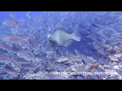 Bigeye jacks and bumphead parrotfish in the Solomon Islands