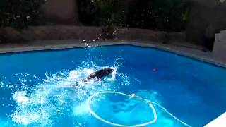 Doberman Pinscher Swimming In Pool