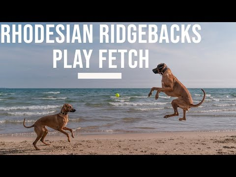 Rhodesian Ridgebacks Playing Fetch