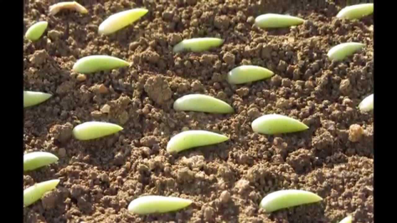 Planta suculenta e sua propagação  YouTube