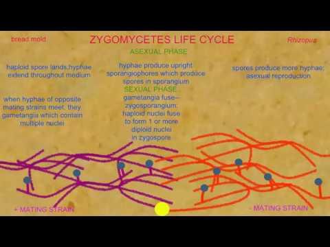 LIFE CYCLE IN ZYGOMYCOTA