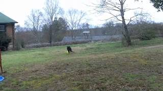 German Shepherd Playing With His Varsity Ball