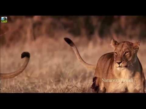 Assassinos da África  Os Leões e Búfalos