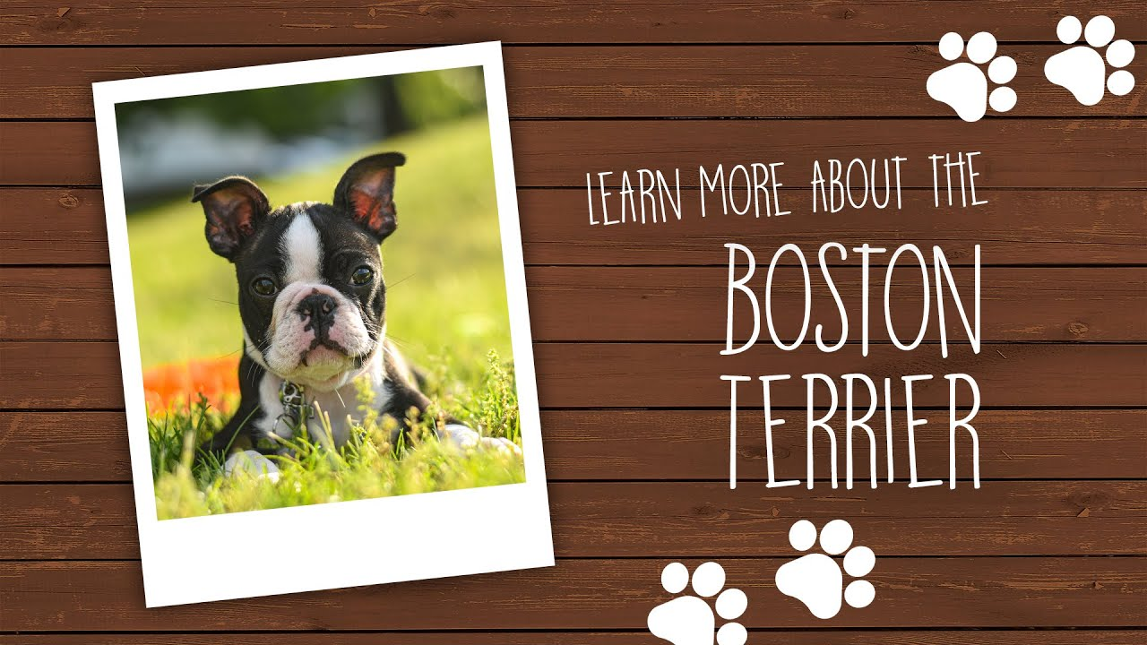 Boston Terrier Puppies - Pet City Pet Shops