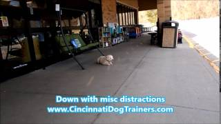"Schnauzer Poodle ""goose"" Board & Train Transformation- Cincinnati Dog Trainers Off Leash K9"