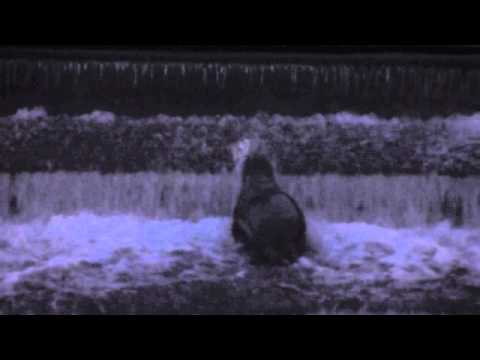 Seal climbing the weir on the River Lagan at Lisburn