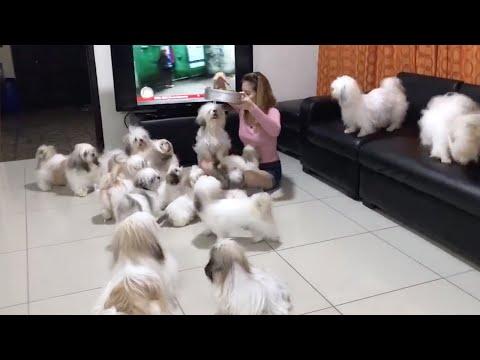 Shih Tzu Family Madness