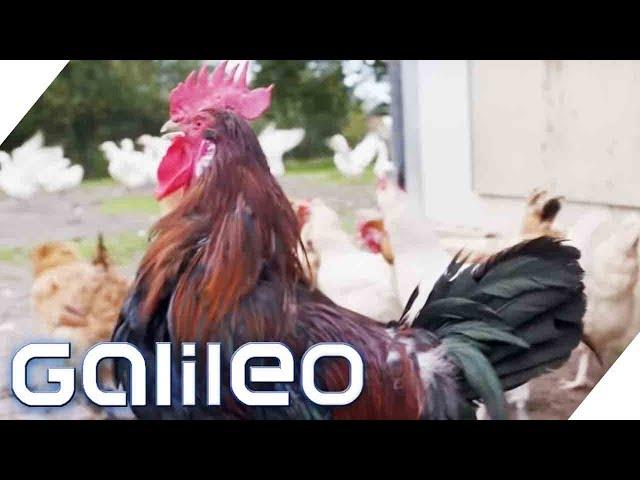 Happy Hühner: Leben hier die glücklichsten Hühner Deutschlands? | Galileo | ProSieben