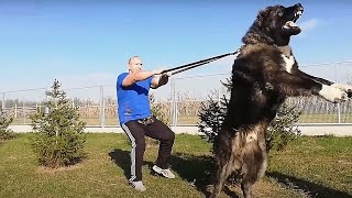 세계에서 가장 거대하고 힘이 센 10 종류의 개들