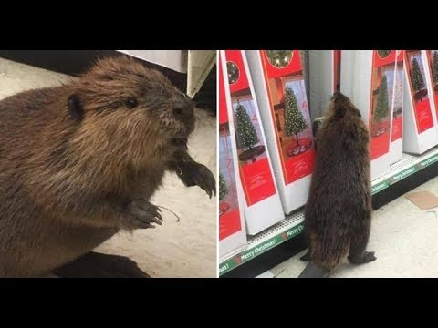 Beaver Spotted Browsing The Aisles Of Dollar Store