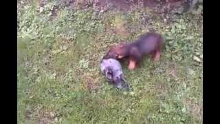 Jazavicar ostrodlaki (Teckel)