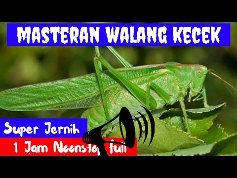 Masteran Walang Kecek Super Jernih Mp3 Durasi Panjang 1 Jam Full MP3