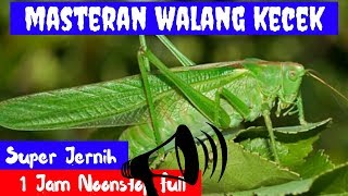 Masteran Walang Kecek Super Jernih mp3 Durasi Panjang 1 Jam Full MP3