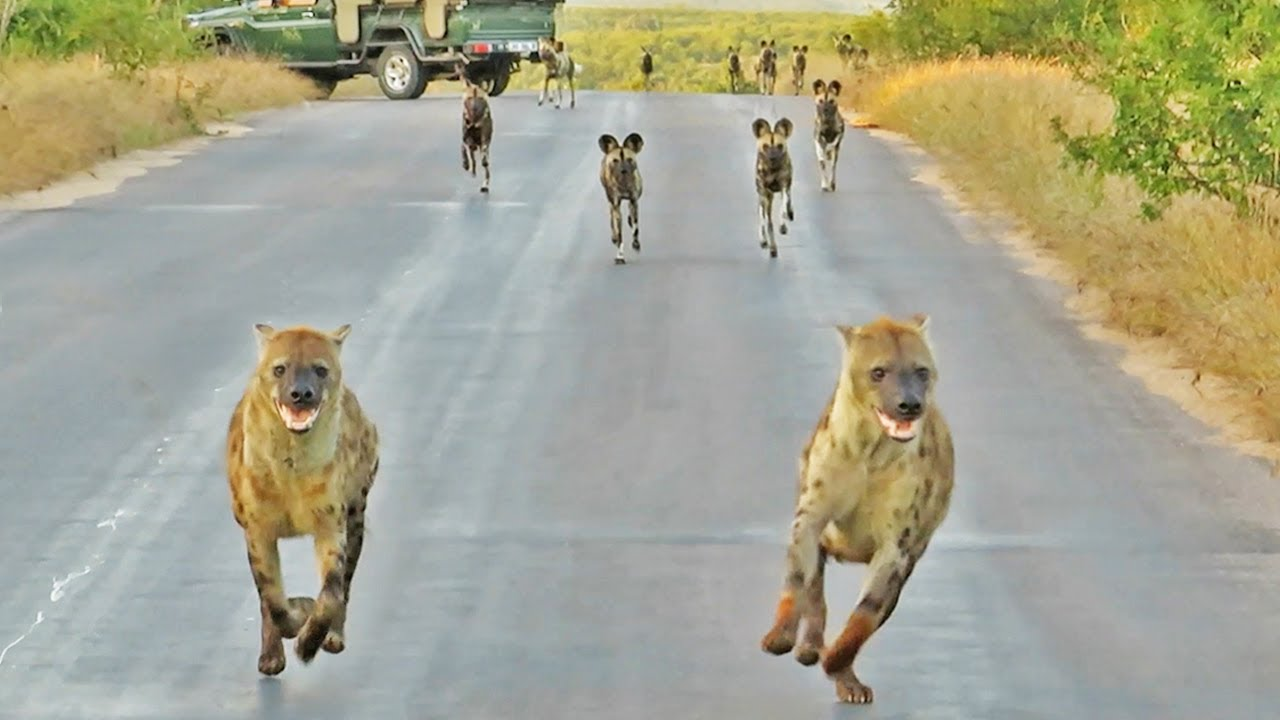 """Hyenas Say """"We outta here"""" When 20 Wild Dogs Charge In"""