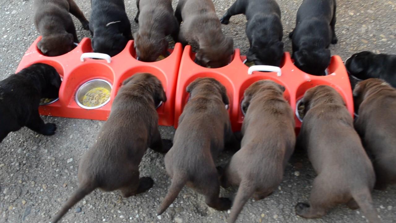 How to feed puppies. 14 dogs. Cum să hrănești 14 căței. Satu Mare
