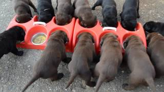 How to feed puppies. 14 dogs. Cum să hrănești 14 căței. Satu Mare